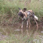 Touraco Toura and Transfers - Wild Dog seen during Pilanesberg National Park Day Tour
