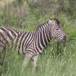 Touraco Touras and Transfers - Zebra - Pilanesberg Day Tour