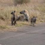 Touraco Travel Services - Hyenas on Kruger Park Safari