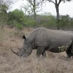 Touraco Tours - Kruger Safari - Rhino