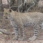 Touraco Tours - Kruger Safari - Leopard