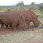 Touraco Tours - White Rhino