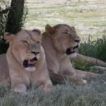 Touraco Tours: Lion Park