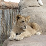 Touraco Lion Cub