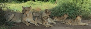 TouracoTravel Services- Lion Family