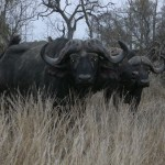 Touraco Tour - Kruger Safrai - Buffalo
