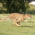 Touraco Tours - Cheetah Run
