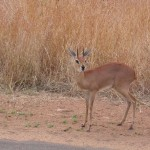 Touraco Travel Services - Steenbok - Kruger Tour