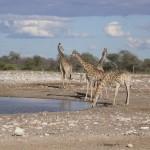 Touraco Travel Services - Giraffes in Etosha