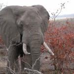 Touraco Travel Services - Elephant - Krüger Park Safari with Blyde River Canyon