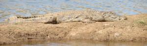 Touraco Tours - Nilkrokodil - Pilanesberg Nationalpark und Sun City Tagessafari