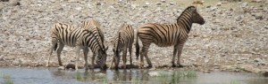 Touraco Travel Services - Zebras - Etosha Safari in Namibia