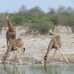 Touraco Travel Services - Giraffen an der Tränke - Etosha Safari