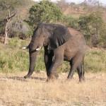 Touraco Travel Services - Elephant during the Kruger Safari