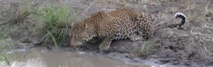 Touraco Tours and Transfers - Leopard in Kruger Park