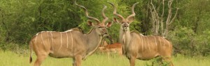 Touraco Tours and Transfers - Kudu Bulls in Kruger Park