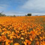 Touraco Tours and Transfers - Namaqua Wild Flowers