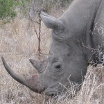 Touraco Tours and Transfers - White Rhino - Kruger Park Safari