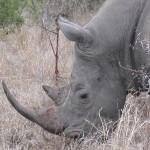 Touraco Tours and Transfers - White Rhino - Kruger Park Safari
