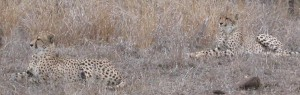 Touraco Tours and Transfers - Cheetahs in Kruger Park