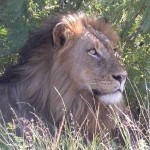 Touraco Tours and Transfers - Lion during Kruger Park Safari
