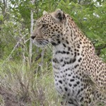 Touraco Travel Services - Madikwe Game Reserve Safari - Leopard