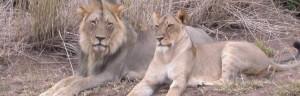 Touraco Tours - Lion pair - Madikwe National Park