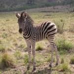Touraco Travel Services- Madikwe Game Reserve Safari - Zebra foal